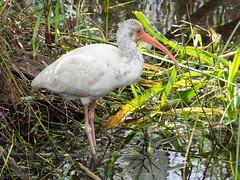 Juvenile White Ibis (larryyorknh) Tags: birds floridakeys