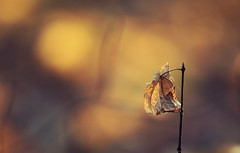 The last one (akigabo) Tags: montreal nature autumn leaf sunset akigabo life plant digital dusk yellow monochrome sepia old canon eos rebel dsrl t5i 700d 200mm light park composition orange dof shadows depthoffield