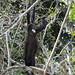 wild howler monkeys gamboa panama pandemonio 2017 - 02