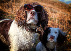 Wow ..... you need to get yourself a pair of these sunglasses Rupert ! (Missy Jussy) Tags: mollie molliemunch rupert rupertbear pets dogs puppy animal englishspringer springerspaniel spaniel sunlight sunglasses portrait dogportrait rochdale lancashire dogwalk canon canon5dmarkll canon50mm 50mm funny happiness smile specsavers advertising advertisement spectacles