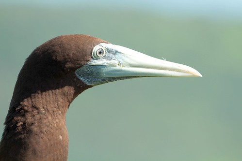 "Brown booby • <a style=""font-size:0.8em;"" href=""http://www.flickr.com/photos/137365235@N06/33351361442/"" target=""_blank""></noscript>View on Flickr</a>"
