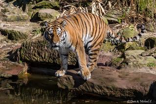 Sibirischer Tiger / Sibirian Tiger