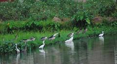 Herons are foraging (Saleh Reza) Tags: bird ecology university disaster imaging ru rajshahi pakhi