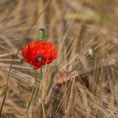 Papaver-Mania 2/3 (Paco CT) Tags: red flower field animal insect spain rojo flor girona poppy campo esp papaver insecto 2014 amapola insecta oedemeranobilis pacoct millasmadremanya