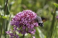 Hummingbird hawk moth (Steve Balcombe) Tags: hummingbird hawk moth somerset lepidoptera nationaltrust sandpoint macroglossum stellatarum