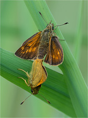 173/365 Large skippers (Mister Oy) Tags: nature butterfly wildlife skipper daily bugs wetlands threesisters mating 365 davegreen greenheart 1aday sigma150mmf28macro nikond800 oyphotos