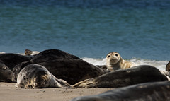 Helgoland, Dne (Borretje76) Tags: germany deutschland sony sigma robben slt dne duitsland eiland a77 helgoland zeehond zeehonden 120400mm borretje76 fotovakantie