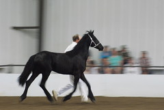 DSC01451 (jmbedel) Tags: ohio horses horse springfield horseshow 2014 friesian cessnastables buckeyebaroque sarabellafanleandra
