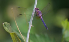 Blue Dasher Male (jim324w) Tags: nature insect nikon dragonfly outdoor alabama insects d3100