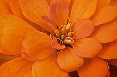 For an Inchworm (Feathered Trail Photos) Tags: orange flower garden nj marigold longvalley mfcc wwwbuckinghamnaturephotographycom