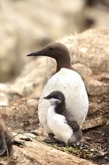 Guillimot & chick (charlie.syme) Tags: bird islands nikon chick northumberland farne guillimot
