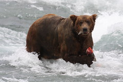 heft (shoots canons) Tags: alaska mcneilriver brownbear ursusarctos salmon wildlife alaskapeninsula fishing eating rapids bear bruin ursine ursidae river sanctuary refuge wild wilds wilderness remote fish enormous huge fat brute wet hairy brown whitewater wildlifewednesday waterlogged fatty