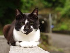 IMGP0525 (rampx) Tags: cat pentax tuxedo neko 猫 ねこ sooc 藍島 645z