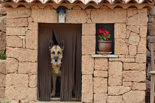 German Shepherd PERLA, simply...THE BEST . Pastor aleman PERLA ( on explore ). Tenerife