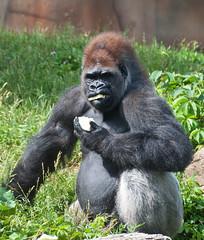 MissouriIllinoisTrip-027 (MrTopher) Tags: black saint st grey zoo louis nikon gorilla eating gray d90