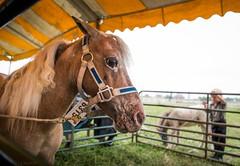 mini auction (Jen MacNeill) Tags: horses horse miniature appaloosa pennsylvania auction mini tent amish pa birdinhand carriageandantique