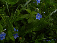 Blue flower, the romantic symbol (cod_gabriel) Tags: blue romania jardimbotnico botanicalgarden bucharest hortusbotanicus bucuresti rumania romenia romnia bukarest blueflower roumanie jardnbotnico  ortobotanico boekarest bucarest romnia botanischergarten blaueblume  romanya rumnien roemeni rumnien  rumana  romnia gradinabotanica bucureti  bucharestbotanicalgarden florazul rumunia ogrdbotaniczny  romnia botanisktrdgrd botanikbahesi  bucareste     rumunjska     floarealbastr  grdinbotanic  dbrndz grdinabotanicdbrndz kebunbotani