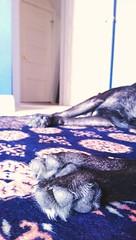 Rhapso-zzz... in Blue (Kenneth Wesley Earley) Tags: blue dog pet pets paw spokane handmade sleep rug paws sprint spokanewa htc sleepingdog bokhara 99201 99205 htcone htconem8