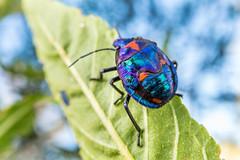 Harlequin Bug Nymph (debatron500) Tags: blue red sky bug leaf metallic cotton nymph harlequin macrophoto hemiptera tectocorisdiophthalmus scutelleridae