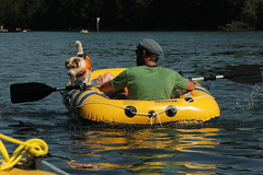Schlauchboot - Gummiboot mit Bordhund - Hund auf dem Rhein beim Paradisli im Kanton Thurgau in der Schweiz (chrchr_75) Tags: dog chien rio ro river boot schweiz switzerland boat europa suisse swiss fiume rivire hund juli reno christoph svizzera fluss rhine rhein strom rin rijn jolla canot dinghy bote schlauchboot 2014 rivier  suissa joki rzeka jolle gummiboot flod sloep rhin schwimmweste chrigu 1407 hochrhein  rhenus chrchr hurni chrchr75 chriguhurni bordhund chriguhurnibluemailch albumrhein gummiboote juli2014 hurni140706 albumrheinsteinamrheinrheinfall albumhochrhein