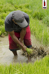 Bunot 06 (Seedlings Pulling) (ilusyonimages) Tags: street asian photography asia farm philippines farming images illusion filipino farmer ricefields ilusyon