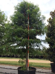 100 gal Bald Cypress 7/10/14