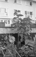 Same sunflower (dances_w_clouds) Tags: ilfordfp4 canoneos1n kodakhc110gdil canonef35105f45