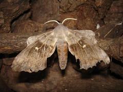 Poplar Hawkmoth (Laothoe populi), by Peter Alfrey