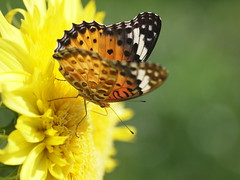 (Polotaro) Tags: nature pen butterfly bug insect olympus  ep1         tamronsp90mmf28macro1172b epm2