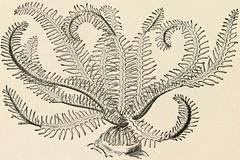 Anglų lietuvių žodynas. Žodis class crinoidea reiškia klasės crinoidea lietuviškai.