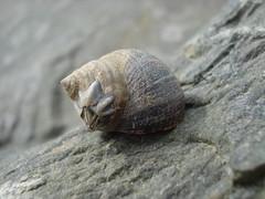 Gwichiad Gwyran (Jim Davies) Tags: beach closeup wales seaside sony cybershot barnacle winkle borthygest dscw55 gwyran gwichiad veebotique