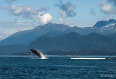 Junior Breach after Mum just Submerged Right (Gillfoto) Tags: summer alaska twin double juneau whale humpback splash insidepassage southeastalaska breach sentinelislandlighthouse southernlynncanal