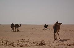 The Western Desert (stevelamb007) Tags: sahara landscape sand nikon desert d70s egypt vista desolate camels siwa westerndesert matrouh libyandesert stevelamb