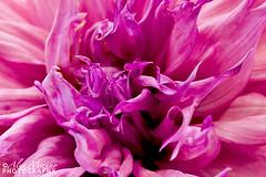 Anatomy-of-Dahlia (Nualchemist) Tags: dahlia summer plant flower detail nature floral closeup petals purple extremecloseup bloom bud intricate macrophotography simplyflowers dahliashow