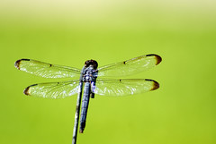 Dragonfly with fairy wings DSC08429 (Pixelating Around Texas) Tags: insectsandspiders