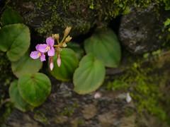 Sonerila scapigera (dinesh_valke) Tags: annual endemic herb melastomataceae melastomaceae melastomafamily sonerilascapigera scapedsonerila