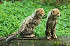 Young Cheetahs - Jachtluipaard (K.Verhulst) Tags: cats arnhem cheetah nl burgerszoo jachtluipaard