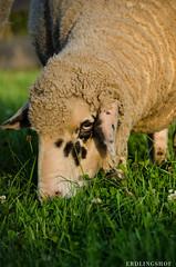 201408-Scharfe-7185 (jerdlingshof) Tags: green sheeps wz scharfe erdlingshof
