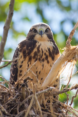 Stare down: A juvenile Swainson's Hawk stares intently
