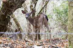 Young Buck (Jill Clardy) Tags: park county morning camp male fence outdoors early wire san hiking path watching young hike deer trail winding sawyer buck barb mateo barbed muletail 4b4a6728