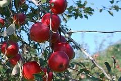 不会腐烂 日本农夫11年坚守信念种出传奇苹果 木村栽植的苹果好吃的令人惊讶。