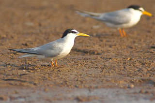 River Tern, Satpura Tiger Reserve, India