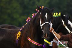 IMG_3620-k (Mandy Bramavi) Tags: show horse shire