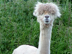 Alpaca, Whitby, North Yorkshire (barry.marsh1944) Tags: alpaca yorkshire north whiby