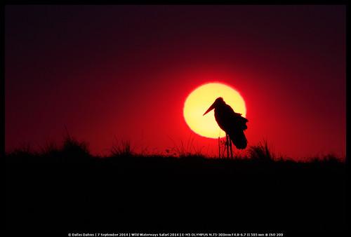 Marabou Stork @ sunset