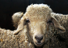 """""""Buttons"""" (trs125) Tags: buttons angoragoat thankyouguys youmakemesmile sheepandfiberfestival flickrsillinesswithfriends"""