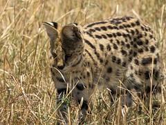 Hunting (Makgobokgobo) Tags: africa mammal kenya mara predator serval masaimara leptailurusserval masaimaranationalreserve leptailurus predatorhub