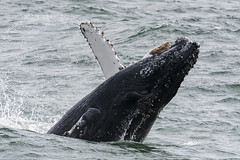 140802_283 (orca_bc) Tags: california monterey unitedstatesofamerica montereybay pacificocean whale whales humpbackwhale marinelife baleen megapteranovaeangliae humpbackwhales cetaceans cetacean marinesanctuary baleenwhale blueoceanwhalewatch