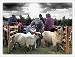 This Yorkshire Life (Eddie Hales) Tags: england countryside sheep agriculture northyorkshire bilsdale olympusepl5