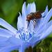 DSCF2756 Hoverfly on a Flower